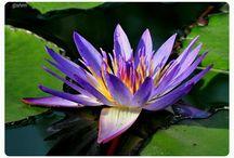 Nilüfer-lotus