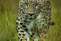 Nature - Big Cats