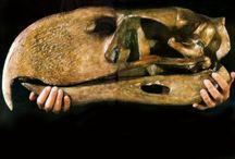 """BIRDS - extint - Phorusrhacos longissimus, Ameghino, 1887 / L'unica specie del genere estinto di grandi uccelli predatori non volatori Phorusrhacos, vissuto nel Miocene medio (circa 15 milioni di anni fa) in Argentina. Soprannominato """"uccello del terrore"""", fu uno dei più grandi uccelli carnivori mai esistiti. I più stretti parenti attualmente viventi di questi animali sono i seriema (famiglia Cariamidae), uccelli sudamericani dalle dimensioni nettamente inferiori rispetto a quelle dei loro parenti fossili."""