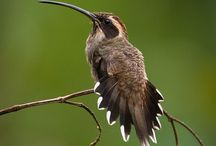 Scale-throated Hermit : Phaethornis eurynome