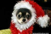 Chihuahua adorable / I love ~♡~ Chihuahuas !! / by Patricia