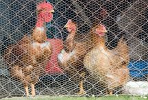 Backyard Chickens / by Carrigan's Joy