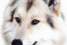 wilkły