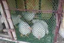 45 days Chicken Farming