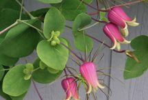 Garden - clematis