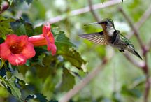 Flowers for Hummingbirds
