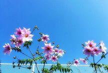 皇帝ダリアが咲き始めています。冬が始まりましたね。 There are bloom start that tree dahlia. #flower #treedahlia #dahlia #winterflowers #clearsky #皇帝ダリア #快晴写真
