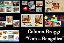 Colonia Broggi / Gatos Bengalíes Te invitamos a que visites nuestra página web:  www.coloniabroggi.com y te enamores de esta maravilloza raza de gatos Bengalíes.