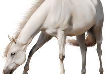 Bílí koně
