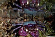 vampire crabs