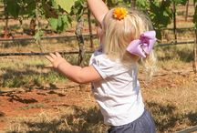 Grape Harvest / Harvest at Kiepersol Vineyards in Tyler, Texas