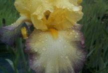 iris barbata alta