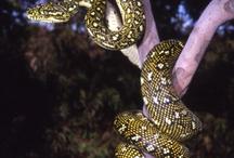 Diamond Python ❤️❤️