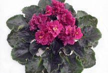 VM: Ibolya  Saintpaulia / Saintpaulia, African violet