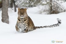 Big Cat - Photography / A board full of big cats from around the world. Lions,  Tigers, Leopards and many more.