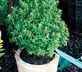 Edible Plants: Indoor/Outdoor, etc.