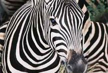 Zebra Obsession  / by Brooke Porter