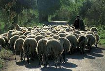 Βοσκοί προσοχή: Κατεβάζετε τα πρόβατα με τα πόδια και όχι με φορτηγά
