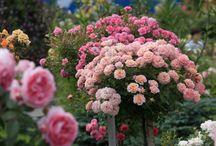 Розы перед укрытием зимой