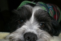 A Board for Maxx - My fur baby! / A rescue dog - considered a Designer breed! Part Havanese and Shih Tzu. He is the BEST!!! / by Kathy Parker