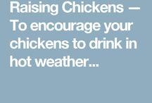chicken / Chickens
