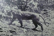 Towards Extinction : Indonesian Tiger !!