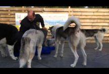 Eten met 9 honden / Honden moeten elke dag eten en dat wil je natuurlijk zo rustig mogelijk doen. En dat lukt de van Siberian Husky racing team Nuyvilaq aardig. De sporthonden krijgen elke dag FarmFood te eten alleen het beste voor onze honden. Daarbij krijgen de honden om extra weerstand te krijgen supplementen van Extreme Dog Gear !