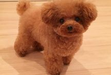 soon / toy red poodle  WANT YOU SO MUCH