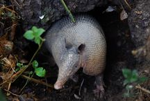 Armadillo / Los armadillos se pueden encontrar en América central, del sur y del norte.  Ellos son animales nocturnos, pero si tienes suerte, tal vez puedas ver nuestro maravilloso armadillo en la fundación ubicada en el medio de Cali.  Armadillos are found in South, Central and North America. They are very nocturnal but if you are lucky you can see our stunning armadillo in our foundation in the middle of Cali.