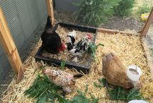 Chickens and their Eggs / Raising chickens and cooking with eggs