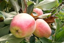 Apples: Low Chill Varieties / Low chill apple varieties for climates like Southern California (San Diego) and Southern Arizona.  http://bit.ly/palnting-apples-in-san-diego