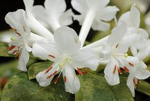 tropical rhodendron