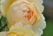 FlowerPower: Roses ~ Gods kisses