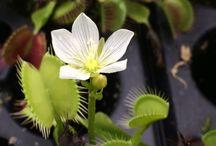 Хищные растения/  Carnivorous plants