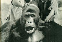 Dead Gorillas   Gorilles Morts / This is how we treat our nearest relations.   C'est comme ça que l'on traite nos parents les plus proches...