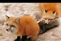 Foxlover Iwu