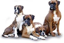 Photography Dogs
