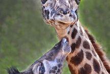 0 Giraffe