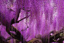 Blauwe regen / wisteria