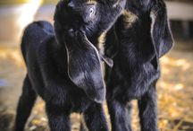 Cute baby goats and lambs