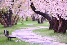ciliegi in fiore giappone / fiori di ciliegio