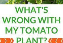 Tomato sickness