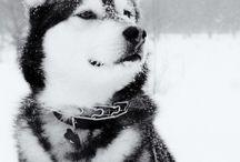Allegra: husky siberiana / Gracias!!! Porque ahora haces parte de mi vida