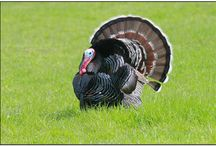 Birds of the world - Pheasants, partridges & francolins / Family Phasianidae PhasianidaePheasants and allies