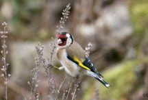 Vogel des Jahres 2016 - Stieglitz