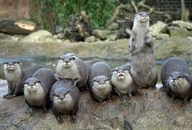 Otters / Lots and lots of otters.