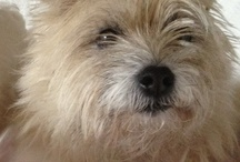 cairn terrier love / Cairn Terriers at Their Best