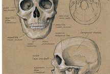 anatomofisiliogia