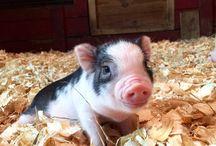 Pig  / So cute