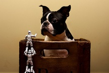 I Love Boston Terriers / One of the most lovable and humorous breeds out there.